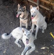 Dog Rescue Incline Village Nv